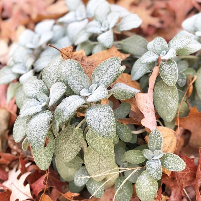 Frosted sage on a cold fall morning latergram marvsgardens sagehellip